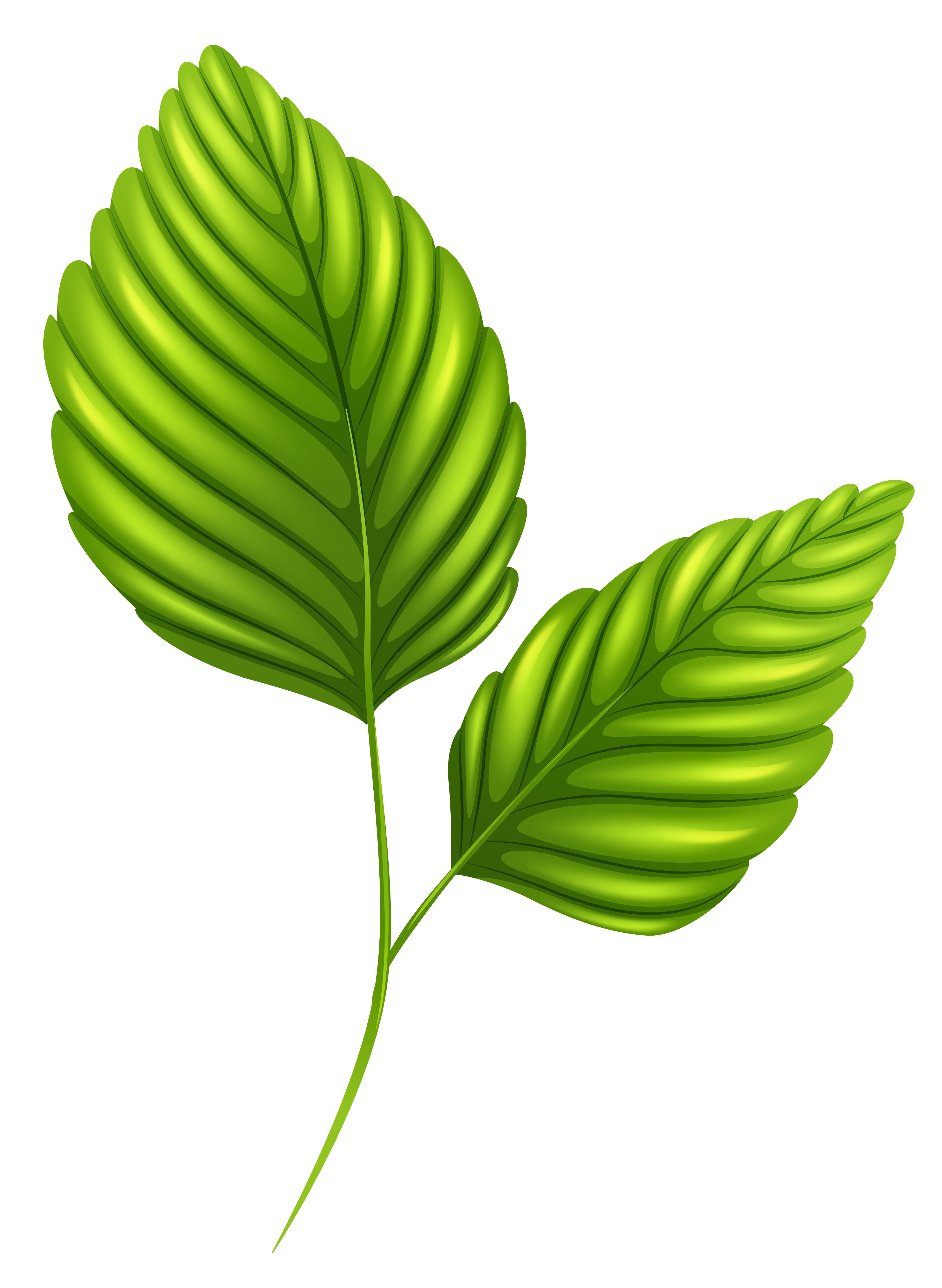 2 clipart leaf. Two green leaves png