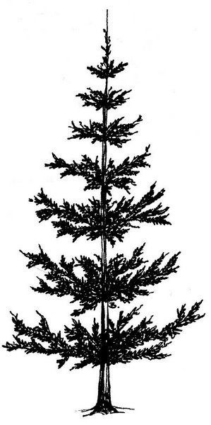 2 clipart pine tree. Beccy s place trees