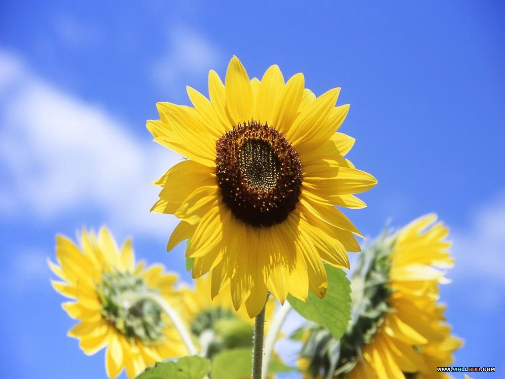 3 clipart sunflower. Hd wallpaper background images