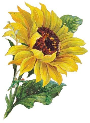 Clip art free images. 3 clipart sunflower