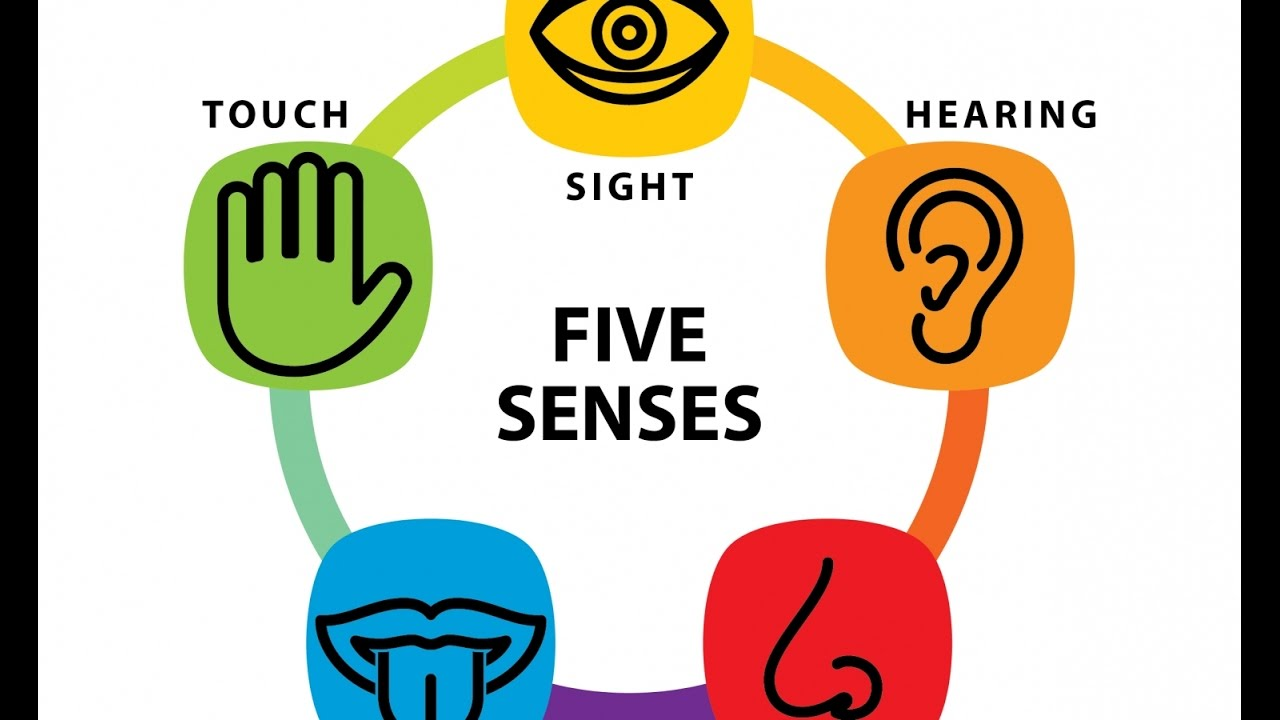 collection of five. 5 senses clipart anatomy physiology