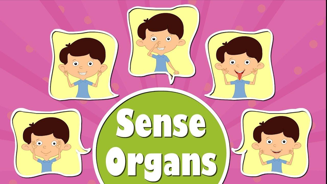 Human organs videos for. 5 senses clipart sense organ