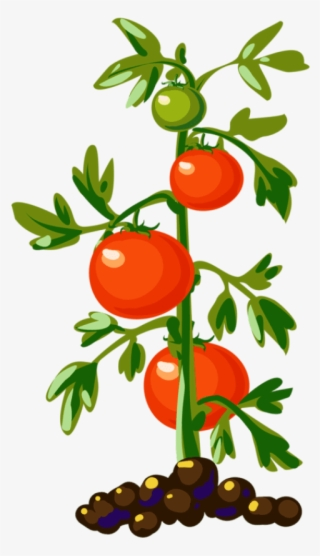 Png transparent image free. Tomatoes clipart tomato vine