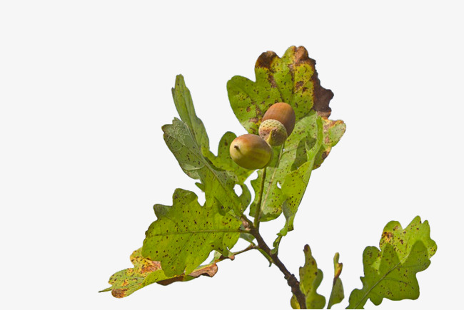 Green branches png image. Acorn clipart branch