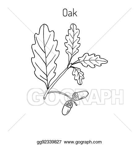 Vector art oak with. Acorn clipart branch