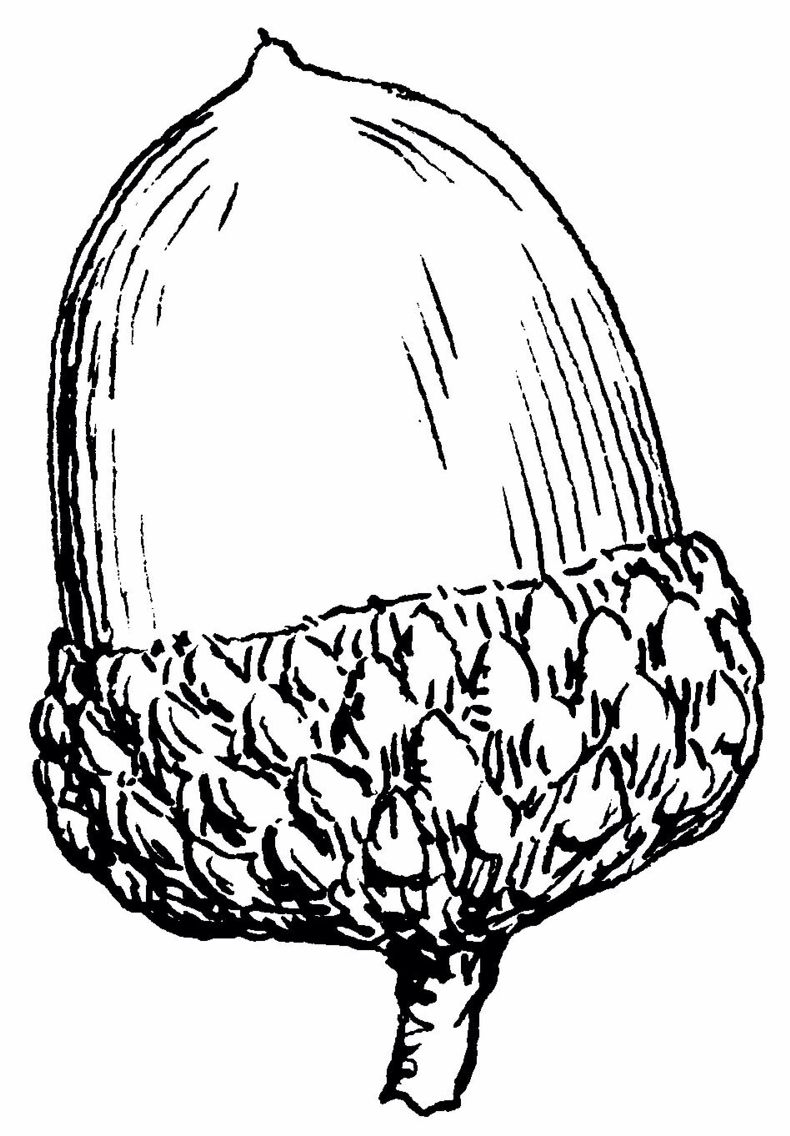 Acorn clipart gland. Pin by heather feltman