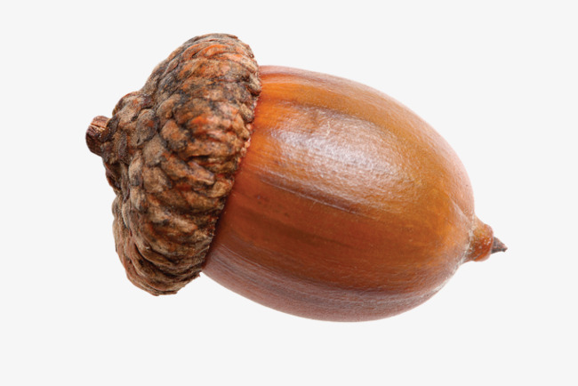 Acorn clipart gland. Nuts nut fruit png