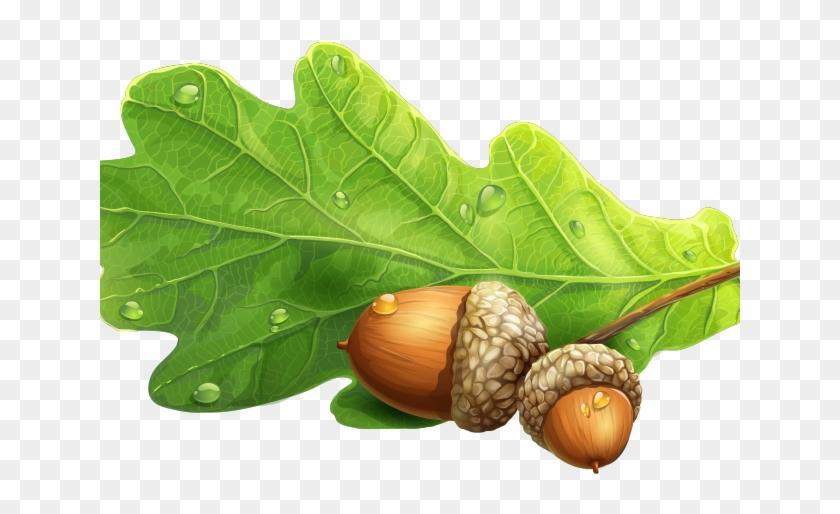 Acorn clipart leaf. Oak live acorns png