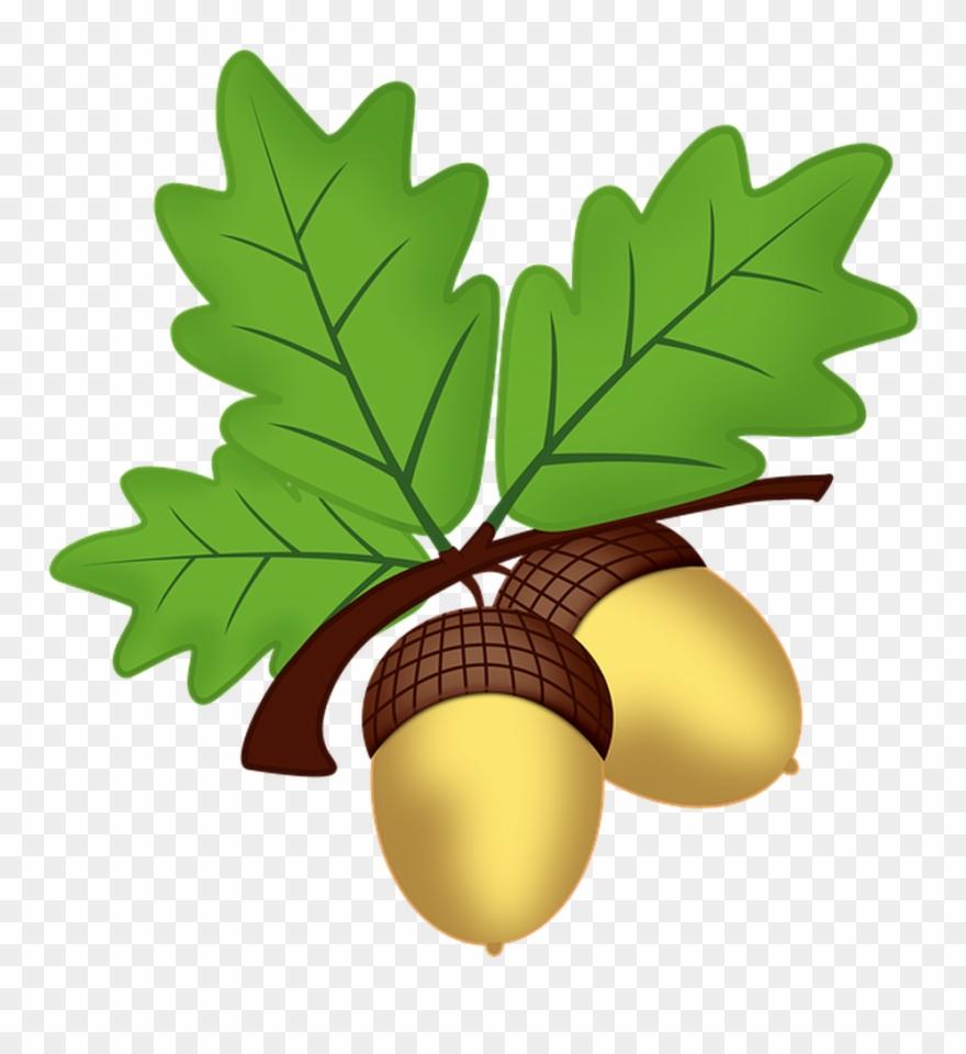 Acorn clipart leaf. All saints oak png