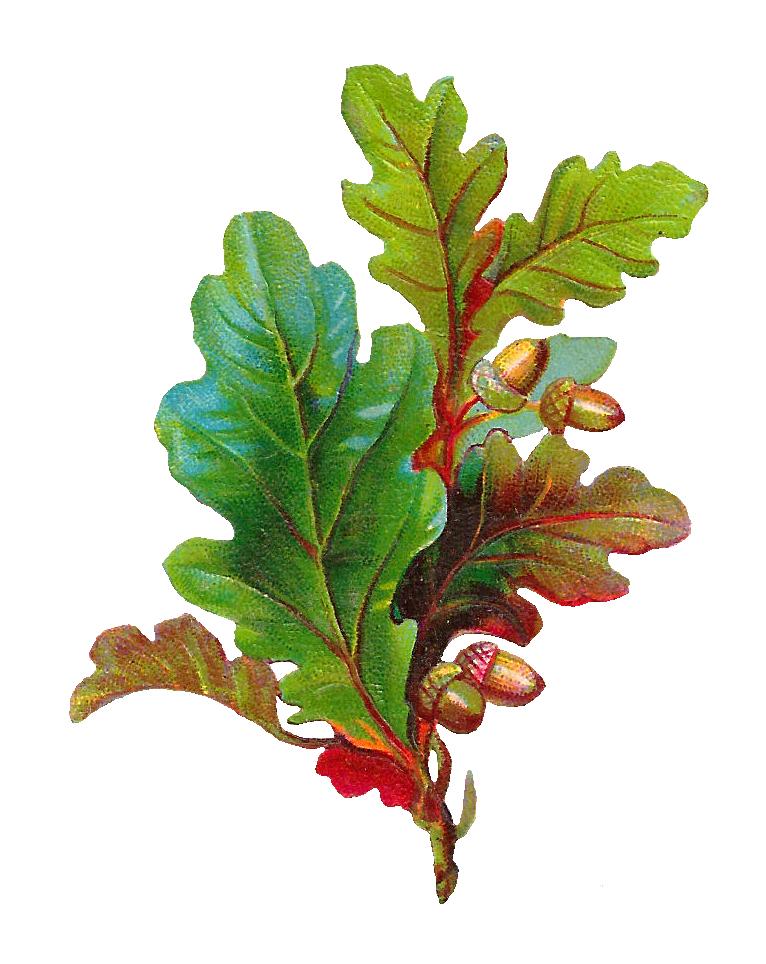 Leaf clipart twig. Antique images free acorn