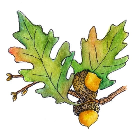 Harvest clipart oak leaves. Leaf drawing template at