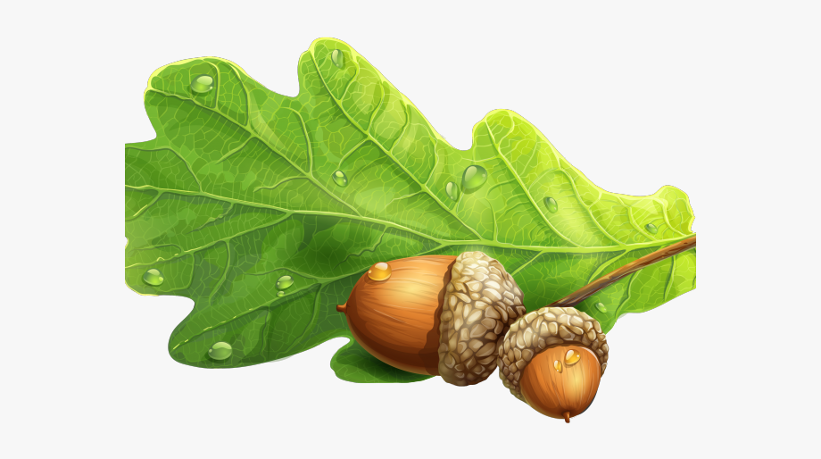 Acorn clipart oak leave. Leaf and png free