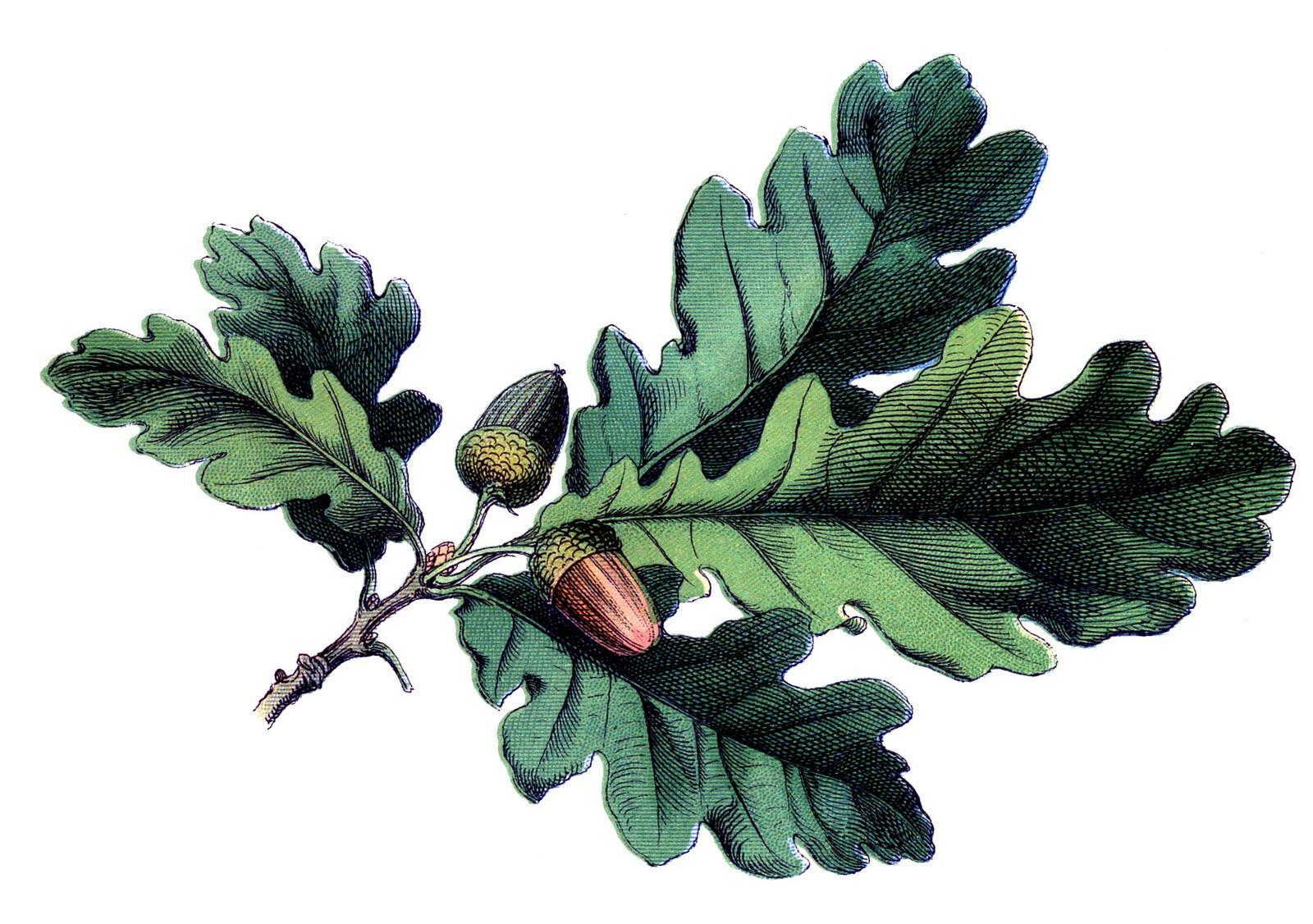 Acorn clipart oak leave. Antique botanical image leaves