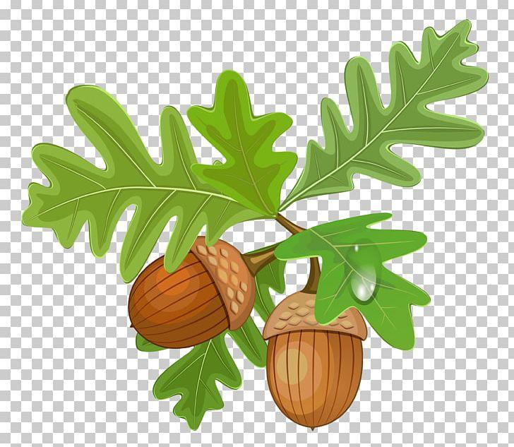 Acorn clipart painting. Png acorns autumn clip
