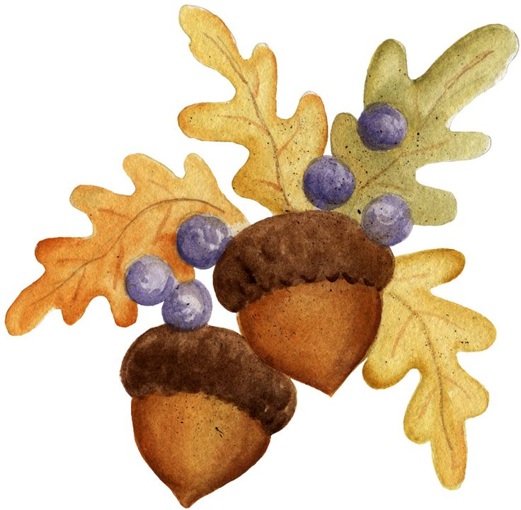 Acorn clipart painting.  best images on