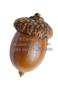 Acorn clipart single. Stock photography acclaim images