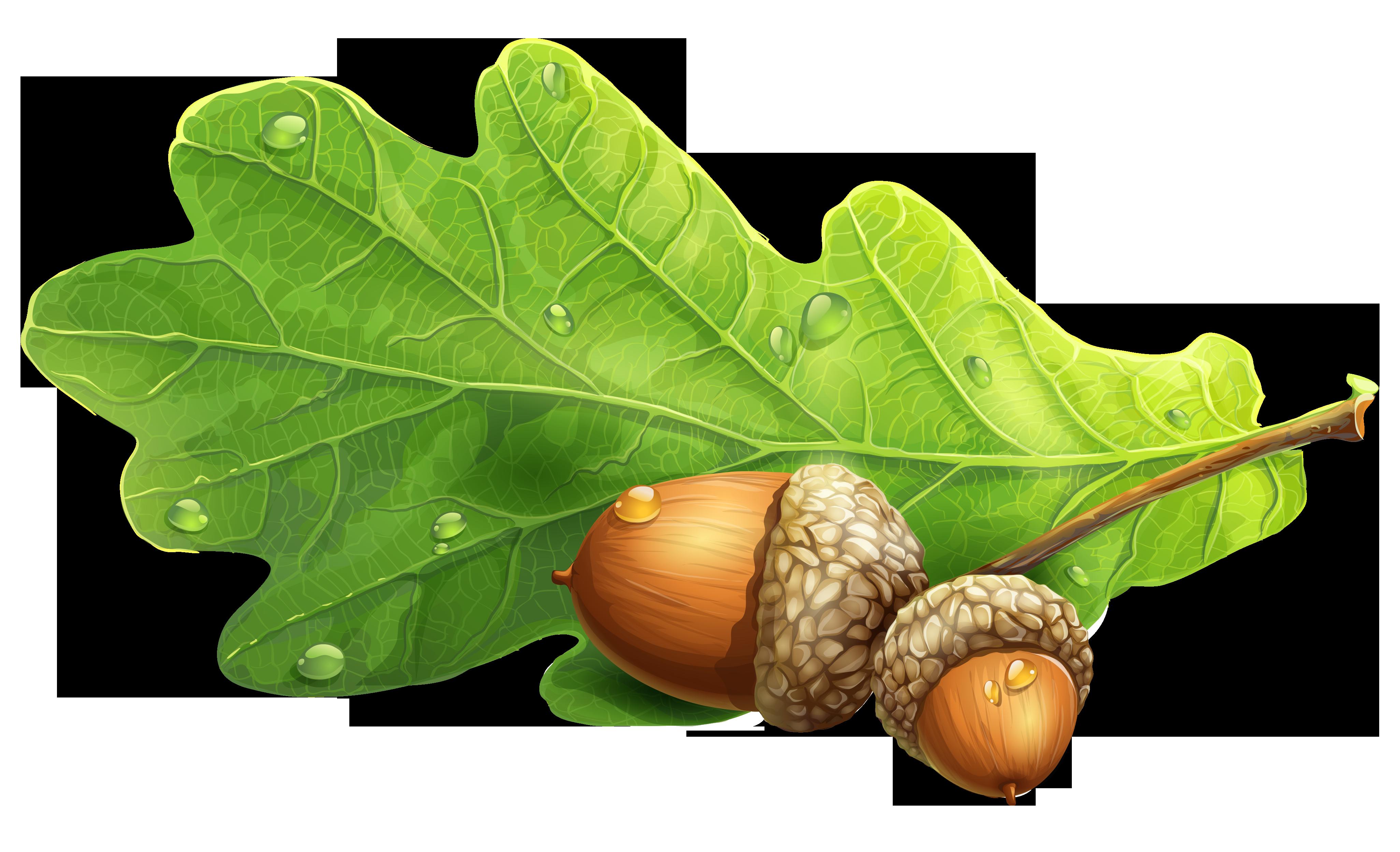 Nut clipart acron. Acorns png picture gallery