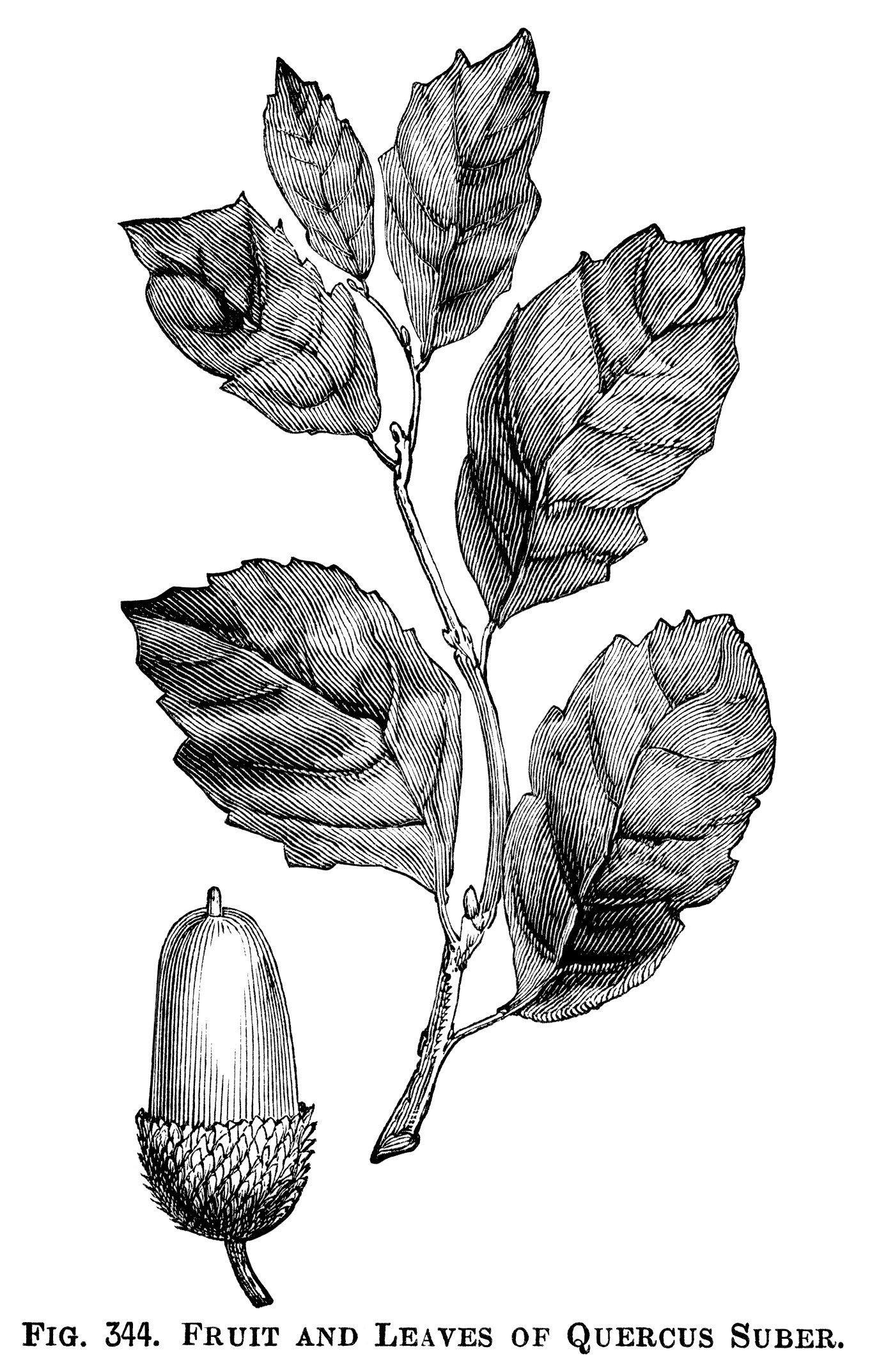 And leaves illustration botanical. Acorn clipart vintage