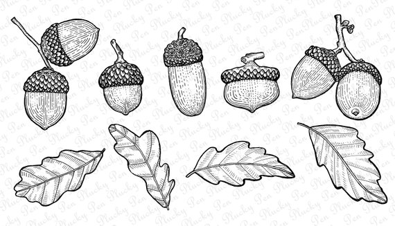 Fall instant download lithographic. Acorn clipart vintage