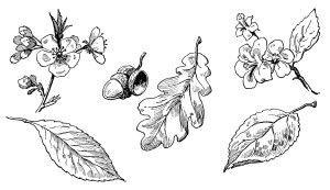 Acorn clipart vintage.  best plant graphics
