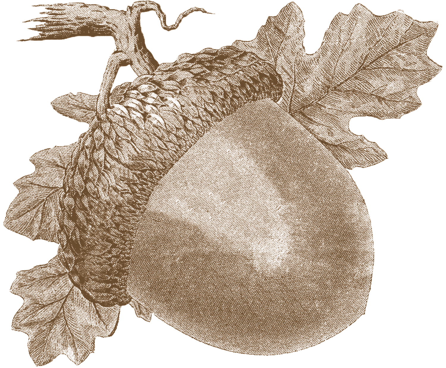 Images fall the graphics. Acorn clipart vintage