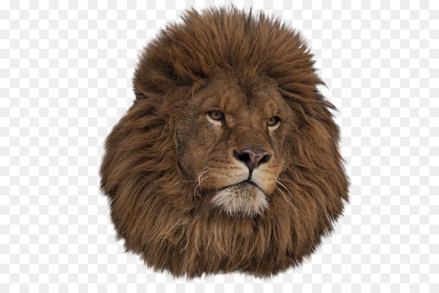 East lion ragdoll animal. African clipart masai