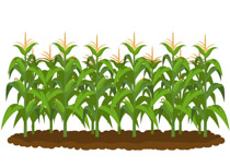 Free agriculture clip art. Crops clipart