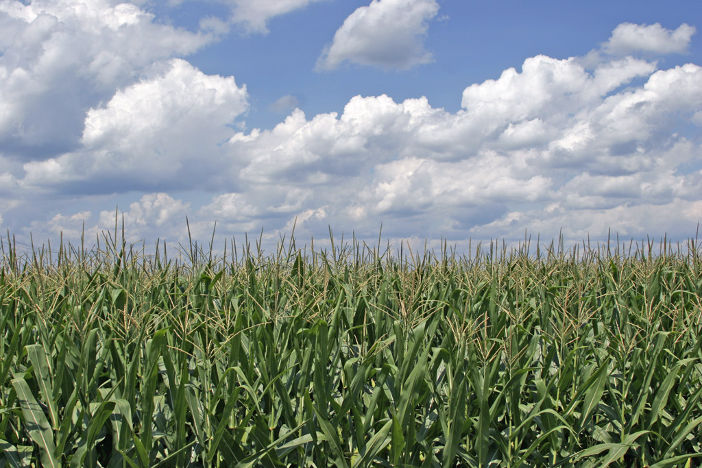 B days american seed. Agriculture clipart corn field