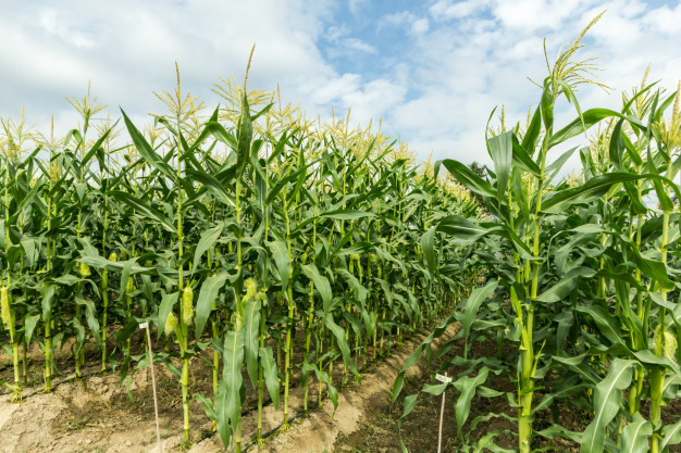 Green with drip irrigation. Agriculture clipart corn field