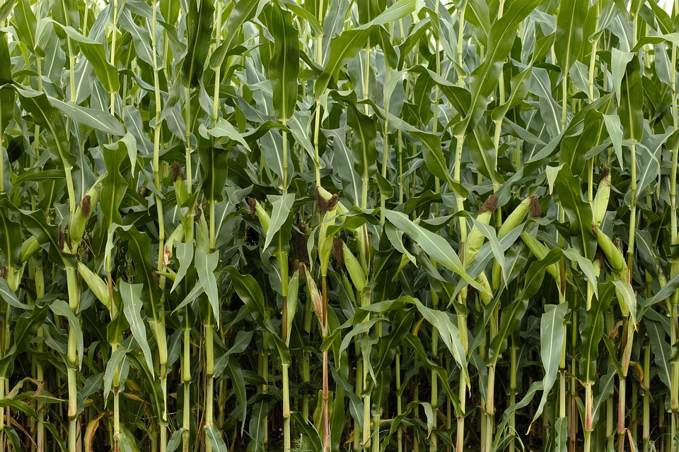 Free photo nature cornfield. Agriculture clipart corn field