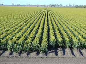 A of sorghum free. Agriculture clipart crop