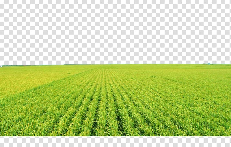 Land clipart rice field. Grass agricultural aircraft paddy