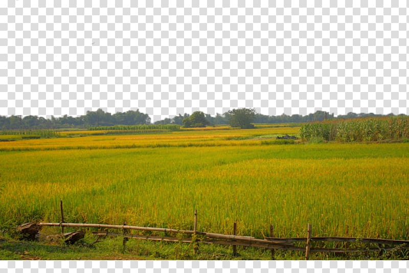 Land clipart rice field. Paddy agriculture a