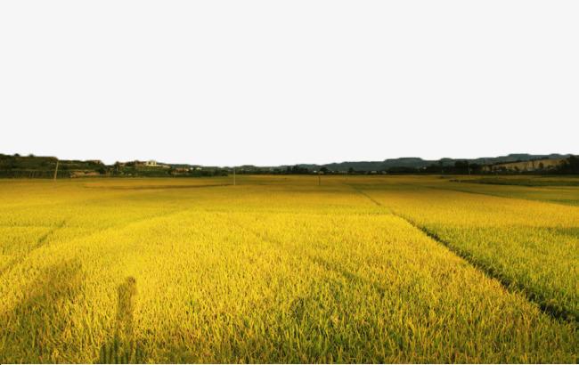 Harvesting Rice Stock Illustrations – 1,390 Harvesting Rice Stock  Illustrations, Vectors & Clipart - Dreamstime