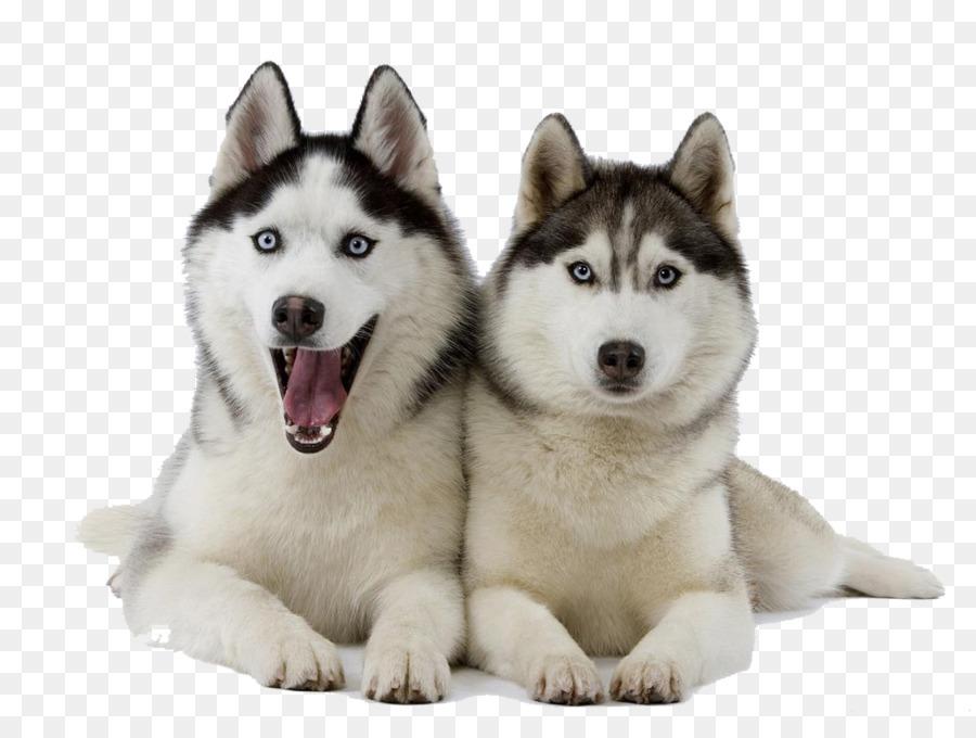 Alaska clipart husky. Siberian puppy pet clip