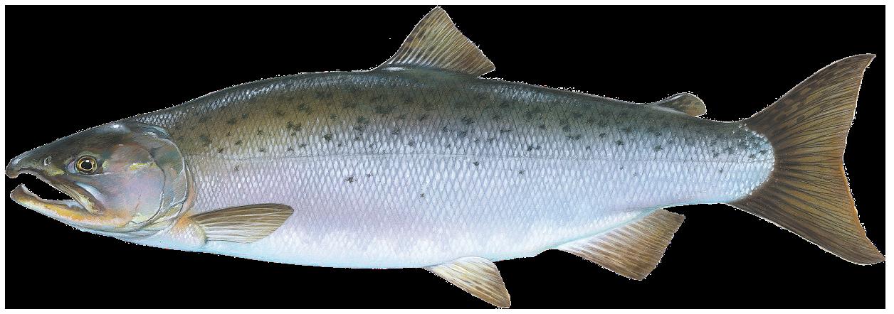Coho . Trout clipart salmon alaskan