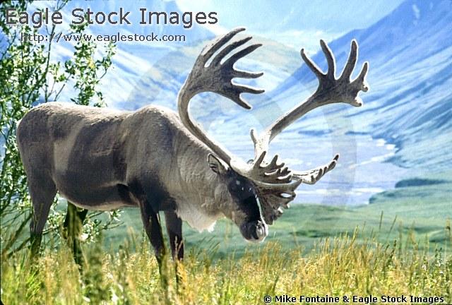 Alaska clipart wildlife alaska. Caribou beautiful alaskan carbou