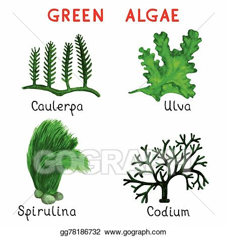 Algae clipart. Eps illustration green vector
