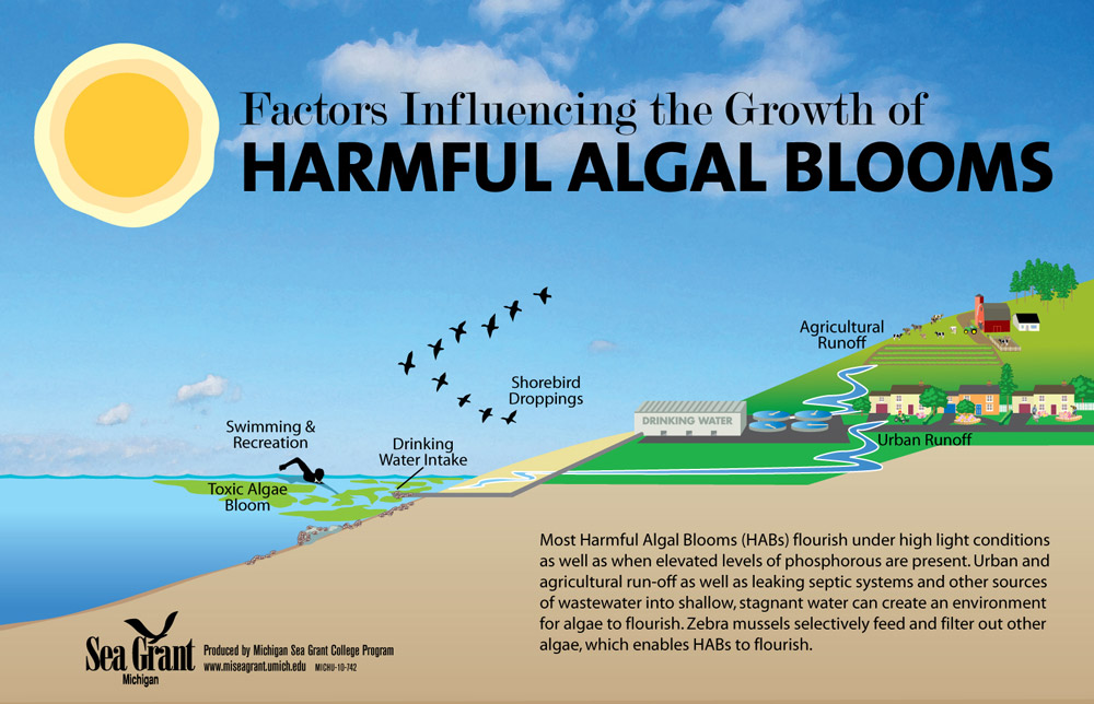 Harmful blooms habs httpwwwmiseagrantumichedufilesharmfulalgalbloom. Algae clipart algal bloom