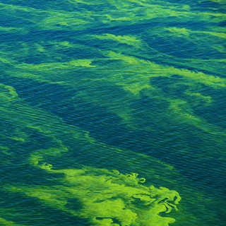 Algae clipart algal bloom. Harmful survey fulcrum