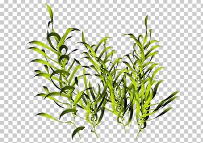 Plants png and vectors. Algae clipart aquarium plant