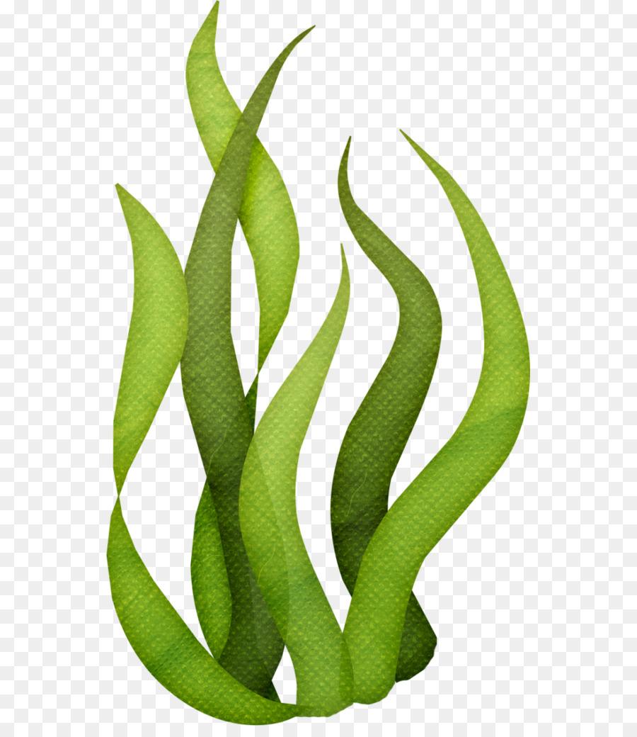 Algae clipart aquatic plant. Edible seaweed drawing clip