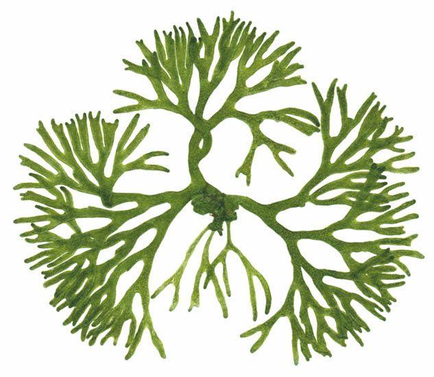 Cryptogamic company seaweed gal. Algae clipart botany