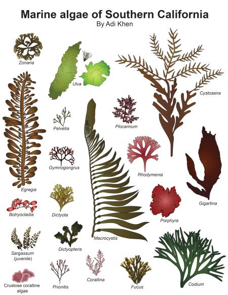Algae clipart codium. About adlysia california guide