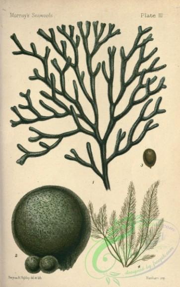 Tomentosum bursa halicystis ovalis. Algae clipart codium