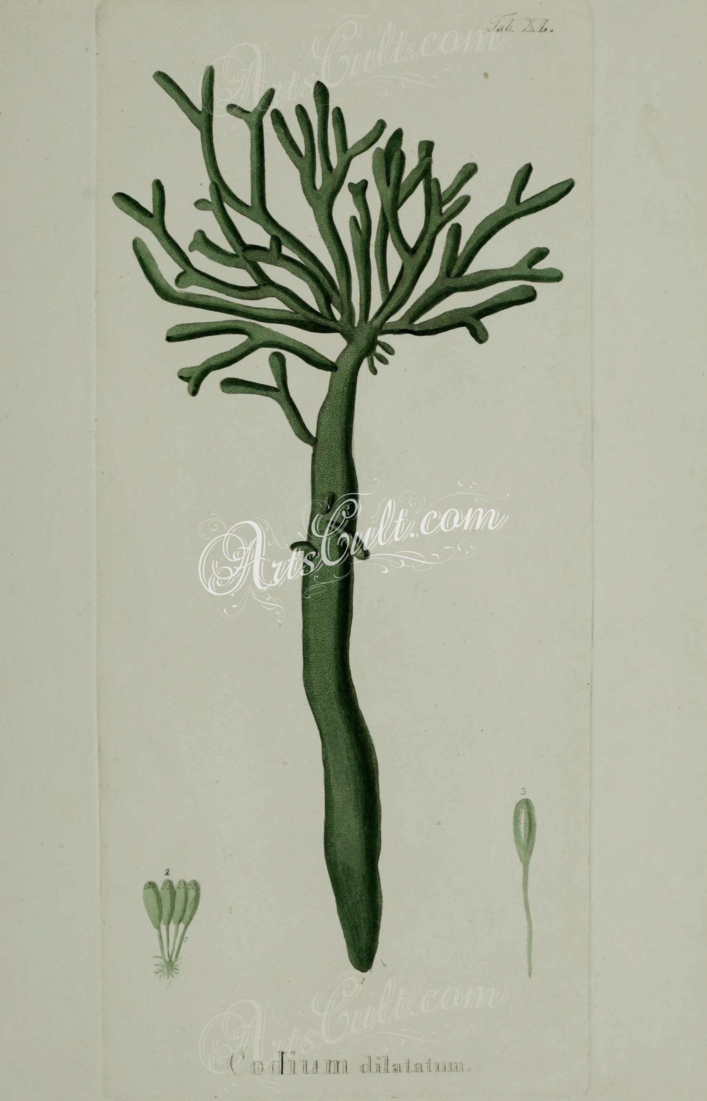 Dilatatum botanical floral botany. Algae clipart codium