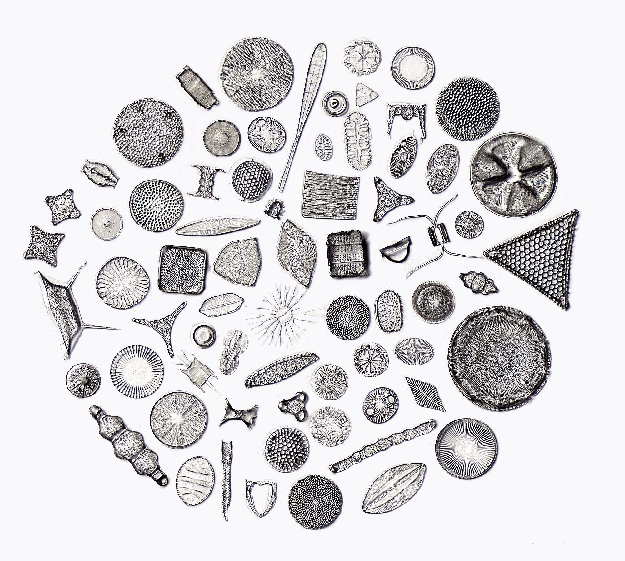 Algae clipart diatom. D kreis j types