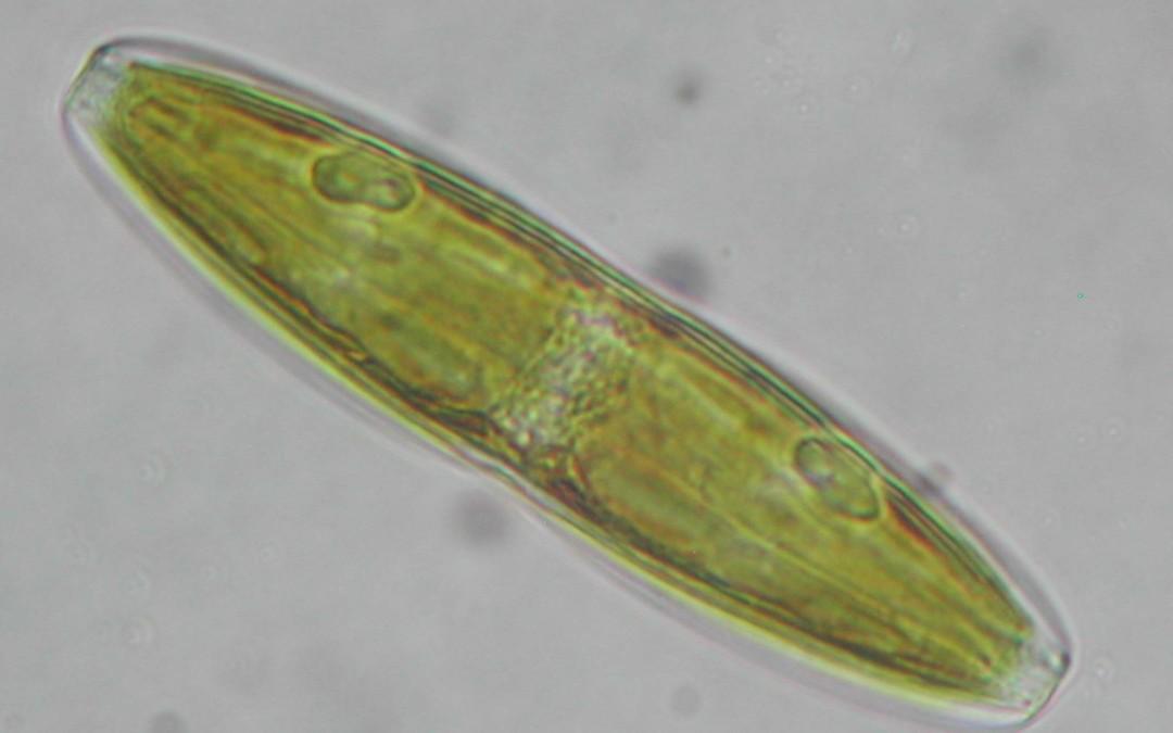 Algae clipart diatom. Nano silica diatoms nualgi