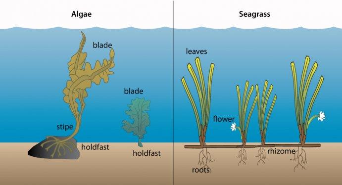 Seagrass . Algae clipart drawn