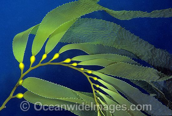 Drawing at getdrawings com. Algae clipart giant kelp